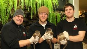 Asiatische Zwergotter im Zoo Osnabrück mit dreifachem Nachwuchs