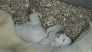 Eisbär-Baby im Tierpark Hellabrunn 2016 - Augen auf