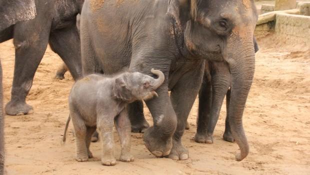Das weibliche Elefanten-Baby neben seiner Mutter Califa. (Foto: Erlebnis-Zoo Hannover)