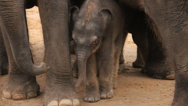 Elefantenbaby Hannover - Saphira Sohn 2016