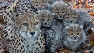 Geparden-Sechslinge in Burgers' Zoo erkunden erstmals einsehbares Außengehege