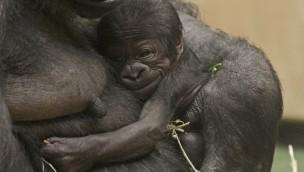 Gorilla-Baby im Allwetterzoo Münster: Überraschung einen Tag nach Nikolaus 2016