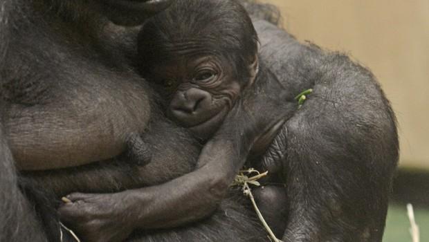 Gorilla-Baby im Allwetterzoo Münster 2016