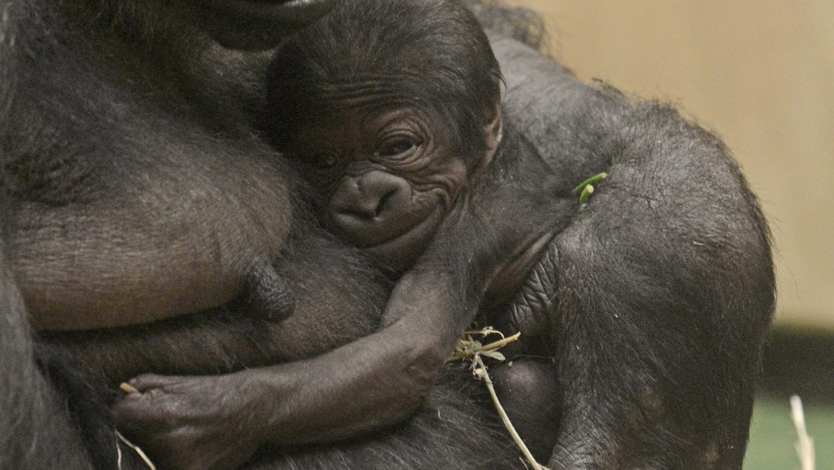 berraschungs gorilla baby aus dem allwetterzoo ist ein m dchen. Black Bedroom Furniture Sets. Home Design Ideas