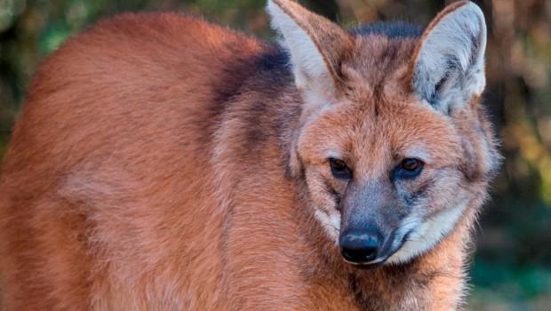 Mähnenwolf Arken im Tierpark Hellabrunn - Nahaufnahme