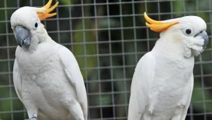 Artenschutzstiftung Zoo Karlsruhe und Vogelfreunde Achern kooperieren – erstes Projekt: Orangenhaubenkakadus