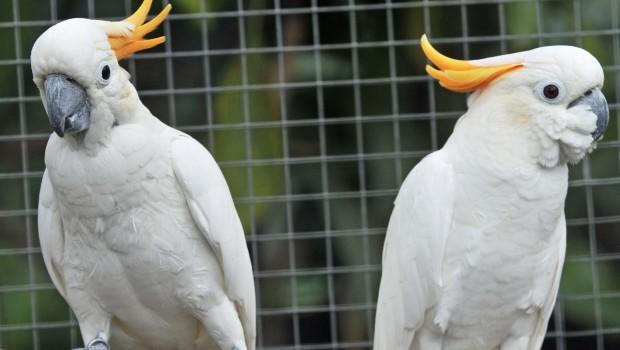 Orangenhaubenkakadus im Zoo Karlsruhe