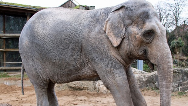 Shanti - Elefant im Zoo Karlsruhe - Krank