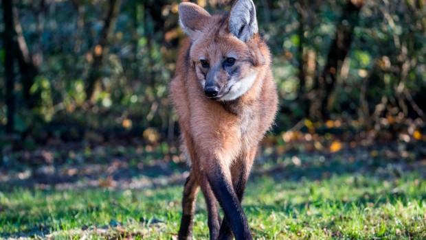 Tierpark Hellabrunn Mähnenwolf Arken