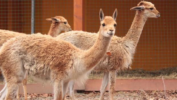 Vikunjas im Zoo Osnabrück