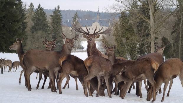Wildpark Schloss Tambach im Winter - Rehe und Hirsche