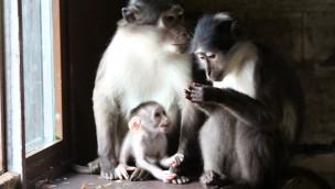 Zoo Osnabrück mit Nachzucht bei Weißscheitelmangaben: Zum zweiten Mal 2016 Nachwuchs