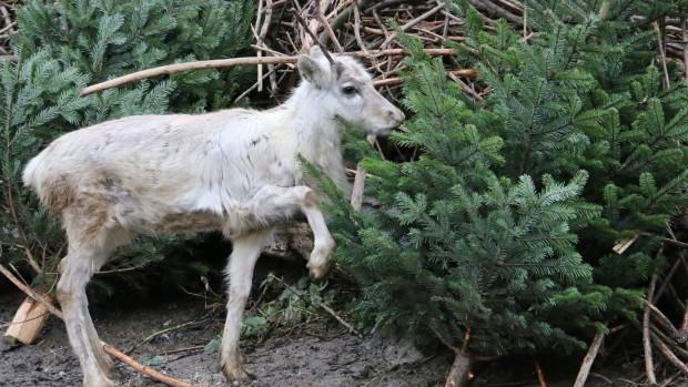 ZOOM Erlebniswelt Tierische Bescherung Weihnachten Rentier