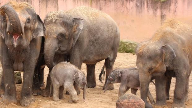 Zwei Elefantenbabys im Erlebnis-Zoo Hannover 2016