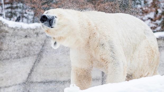 Eisbär im Schnee - Tierpark Hellabrunn