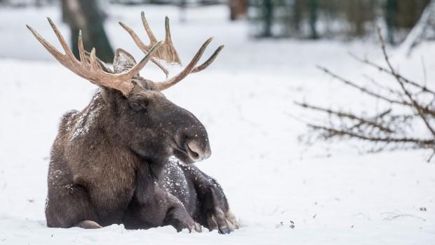 Elch im Schnee im Tierpark Hellabrunn