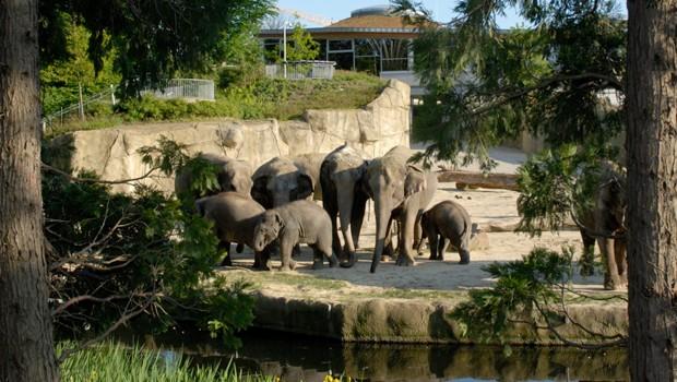 Elefanten in der Außenanlage des Zoo Köln