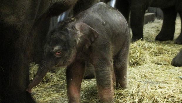 Erlebnis-Zoo Hannover Elefanten-Baby 2017