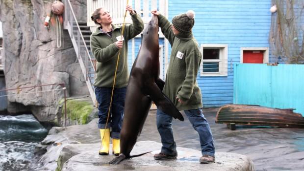 Erlebnis-Zoo Hannover Inventur 2016 - Messung Seelöwe Pam