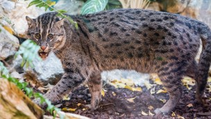 """Servus, """"Sangke"""": Neue Fischkatze zieht in Münchner Tierpark Hellabrunn ein"""