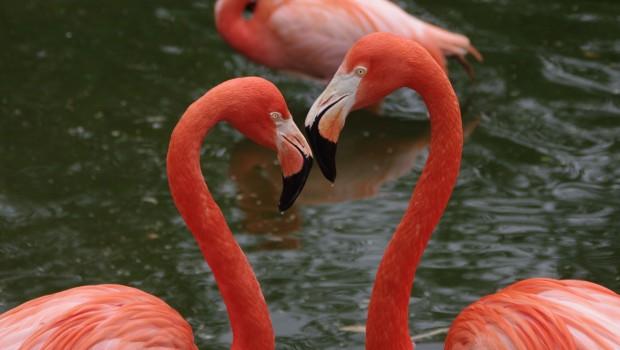Flamingo-Köpfe in Herzform