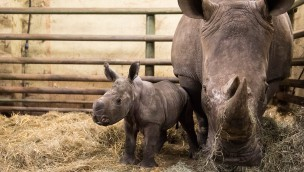 "Breitmaulnashorn-Baby ""Moana"" im Serengeti-Park geboren"