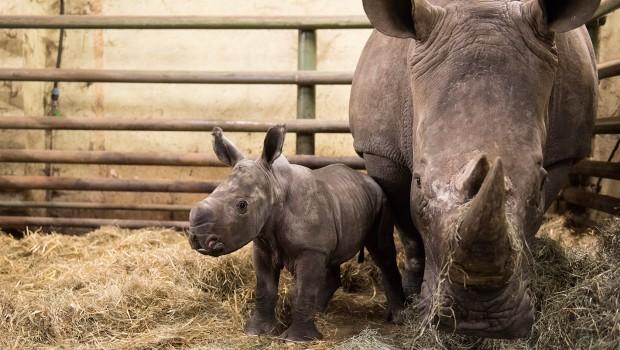 Moana Breitmaulnashorn Baby Serengeti-Park Hodenhagen