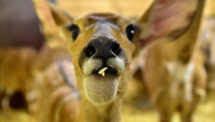 """Serengeti-Park freut sich über erstes Jungtier 2017: """"Nala"""", das Nyala"""