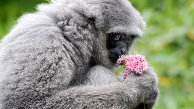 Silbergibbon im Tierpark Hellabrunn mit Blume