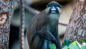 Blaumaulmeerkatzen leben jetzt neu im Münchner Tierpark Hellabrunn