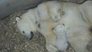 Eisbär-Baby Tierpark Hellabrunn 2017 - Mutter Bauch