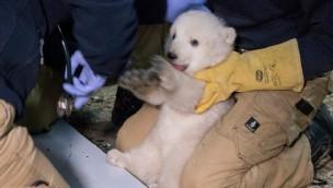 Eisbären-Baby in Hellabrunn ist ein Mädchen: Erste Untersuchung des Eisbären-Nachwuchs im Münchner Tierpark