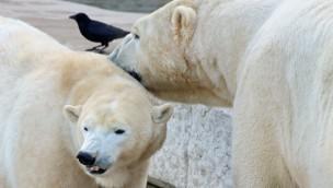 Eisbären-Paar im Zoo Karlsruhe