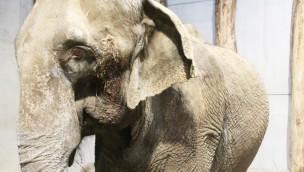 Elefantenkuh Lina im Zoo Karlsruhe - Altersresidenz