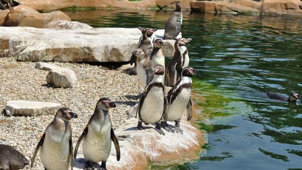Humboldt-Pinguine im Zoo Krefeld am Kiesstrand
