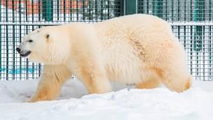 """Erlebnis-Zoo Hannover begrüßt """"Milana"""" aus Moskau: Erste Eisbärin für """"Yukon Bay"""" eingetroffen"""