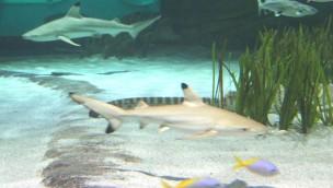 Schwarzspitzen-Riffhai-Nachwuchs 2017 in Oberhausen: SEA LIFE freut sich über Hai-Babies
