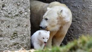 Eisbären-Mädchen erobert erstmals Tundra-Anlage und die Herzen der Besucher im Münchner Tierpark Hellabrunn