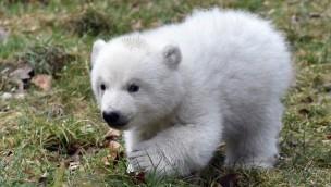 Tierpark Hellabrunn feiert heute Internationalen Eisbärentag 2017