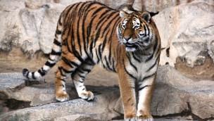 """""""Alexa"""" im Erlebnis-Zoo Hannover angekommen: Sibirisches Tiger-Weibchen aus Berlin"""