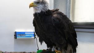 Weltvogelpark Walsrode - Weisskopfseeadler Lady Inventur 2017