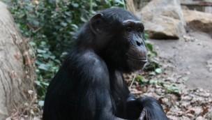 """Zoo Osnabrück verabschiedet Schimpansen nach Frankreich: Au revoir, """"Lila"""" und """"Panja""""!"""