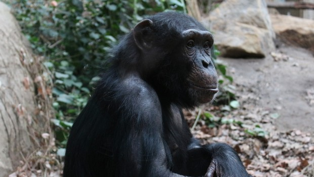 Zoo Osnabrück Schimpansenweibchen Panja