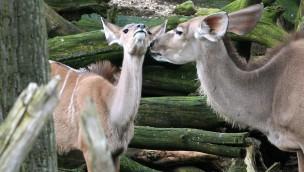 ZOOM Erlebniswelt in Gelsenkirchen begrüßt erste Jungtiere 2017: Große Kudus und Bleßböcke mit Nachwuchs