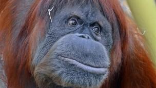"Europas ältester Orang-Utan gestorben: ZOOM Erlebniswelt trauert um ""Elsi"""