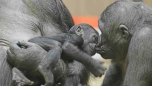 Feierliche Taufe im Allwetterzoo Münster: Gorilla-Baby heißt Makeba