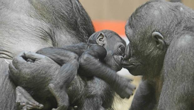 Allwetterzoo Münster Gorilla-Baby Makeba
