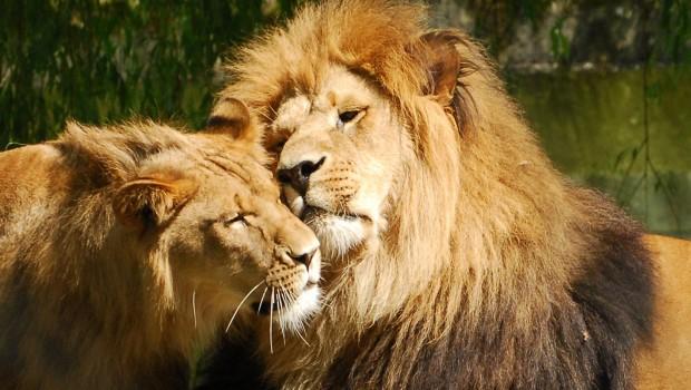 """löwe """"jarah"""" im allwetterzoo münster eingeschläfert"""