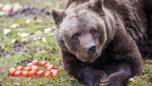 Alles Gute zum Vierzigsten, Olga: Braunbär-Dame im Münchner Tierpark Hellabrunn feiert Geburtstag