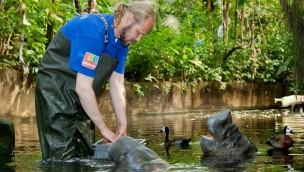 Karibische Seekuh reist 2017 für neues Öko-Display zum Burgers' Zoo